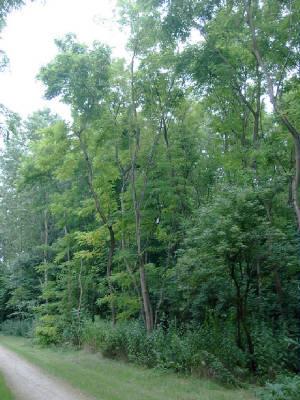 Honingboom giftig